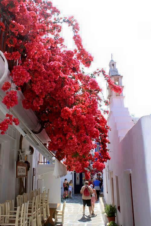 Fleurs Bougainvilliers sur l'île de Santorin îles Cyclades Grèce